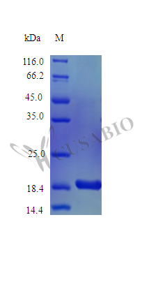 SDS-PAGE- Recombinant protein Mouse Kitlg