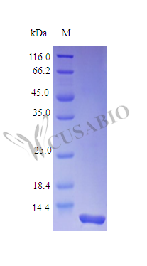 SDS-PAGE- Recombinant protein Rhesus CXCL8