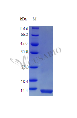SDS-PAGE- Recombinant protein Rhesus IL16