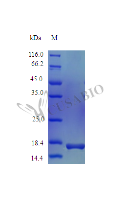 SDS-PAGE- Recombinant protein Mouse Il36a