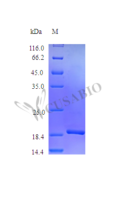 SDS-PAGE- Recombinant protein Mouse Thpo