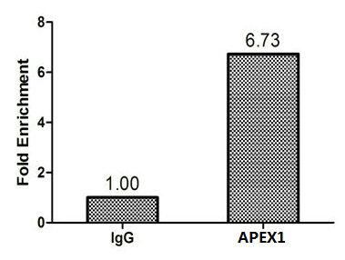Chromatin Immunoprecipitation(ChIP) - APEX1 Antibody
