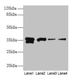 Western Blotting(WB) - APEX1 Antibody