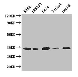 Western Blotting(WB) - CDK2 Antibody
