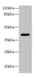 Western Blotting(WB) - DCN Antibody