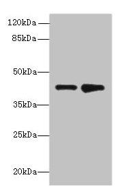 Western Blotting(WB) - ELAVL4 Antibody