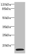 Western Blotting(WB) - HIST1H2AG Antibody