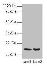 Western Blotting(WB) - PRDX1 Antibody