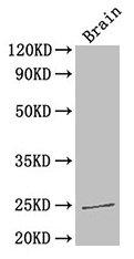 Western Blotting(WB) 2- HMGB1 Antibody