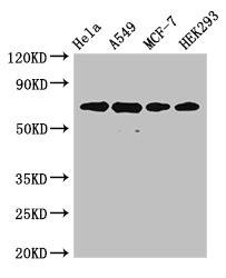 Western Blotting(WB) 2- XRCC6 Antibody