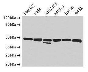 Western Blotting(WB) 2- ENO1 Antibody