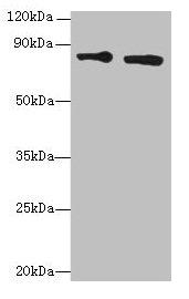 Western Blotting(WB) - XRCC5 Antibody