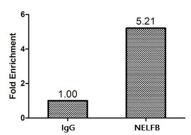 Chromatin Immunoprecipitation(ChIP) - NELFB Antibody