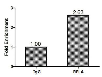 Chromatin Immunoprecipitation(ChIP) - RELA Antibody
