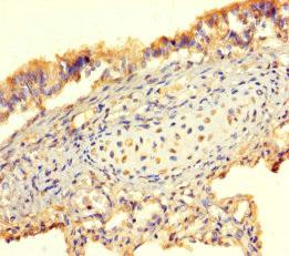 Immunohistochemistry(IHC) 2- BMP4 Antibody