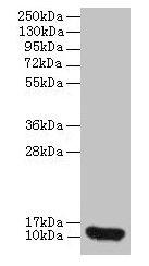 Western Blotting(WB) - CXCL8 Antibody