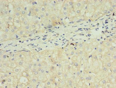 Immunohistochemistry(IHC) 1- FGF2 Antibody