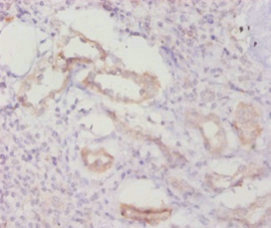 Immunohistochemistry(IHC) 1- CASP8 Antibody