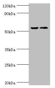 Western Blotting(WB) - CASP8 Antibody