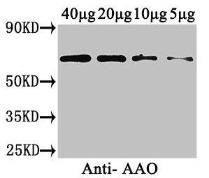 Western Blotting(WB) - AAO Antibody