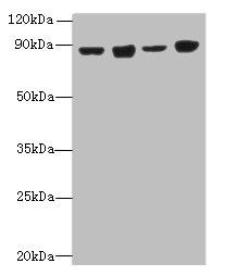 Western Blotting(WB) - DDX50 Antibody