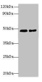 Western Blotting(WB) - AARSD1 Antibody