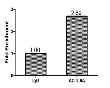 Chromatin Immunoprecipitation(ChIP) - ACTL6A Antibody