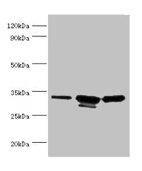 Western Blotting(WB) - CAPZB Antibody