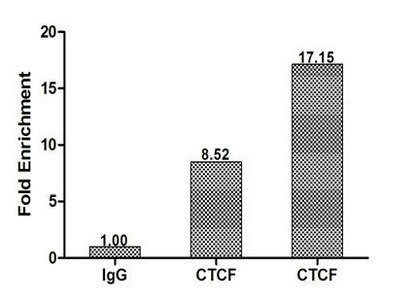 Chromatin Immunoprecipitation(ChIP) - CTCF Antibody