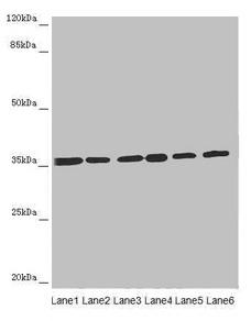 Western Blotting(WB) - ETFA Antibody