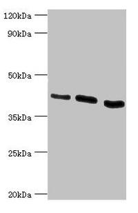 Western Blotting(WB) - HTRA2 Antibody