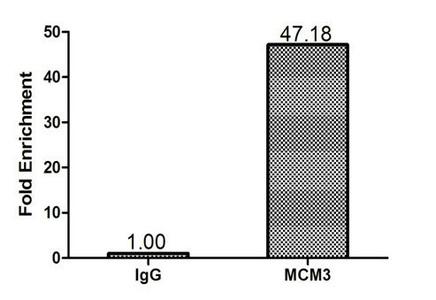 Chromatin Immunoprecipitation(ChIP) - MCM3 Antibody