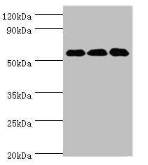 Western Blotting(WB) - XIAP Antibody