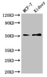 Western Blotting(WB) - GFRA1 Antibody
