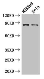 Western Blotting(WB) - MLH1 Antibody