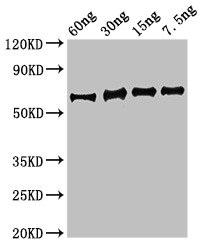 Western Blotting(WB) - eno Antibody