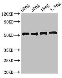 Western Blotting(WB) - ldh1 Antibody