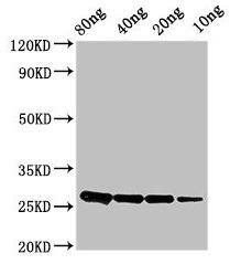 Western Blotting(WB) - ptsH Antibody