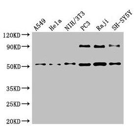 Western Blotting(WB) - BECN1 Antibody