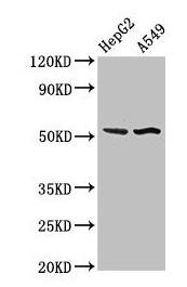 Western Blotting(WB) - SPRED1 Antibody