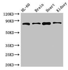Western Blotting(WB) - ABCB9 Antibody