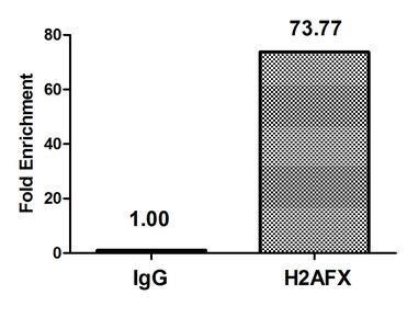 Chromatin Immunoprecipitation(ChIP) - H2AFX (Ab-139) Antibody