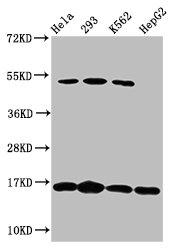 Western Blotting(WB) - H2AFX (Ab-139) Antibody