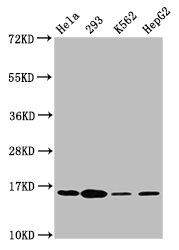 Western Blotting(WB) - Phospho-H2AFX (S139) Antibody