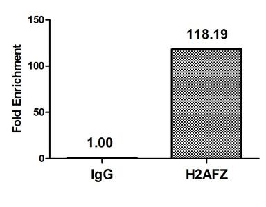 Chromatin Immunoprecipitation(ChIP) - H2AFZ (Ab-4) Antibody