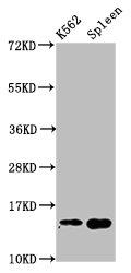 Western Blotting(WB) - H2AFZ (Ab-4) Antibody