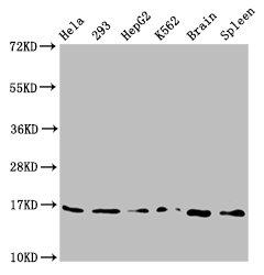Western Blotting(WB) - H3F3A (Ab-79) Antibody
