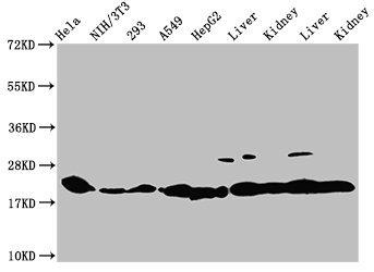 Western Blotting(WB) - HIST1H1C (Ab-45) Antibody