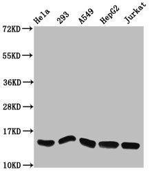 Western Blotting(WB) - HIST1H2AG (Ab-13) Antibody