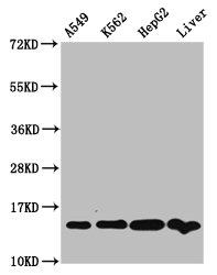 Western Blotting(WB) - HIST1H2AG (Ab-74) Antibody